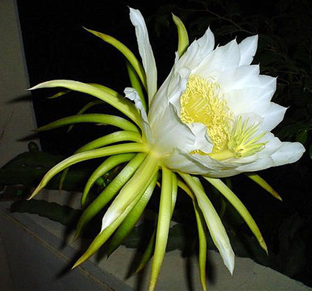 dragonfruit's flower